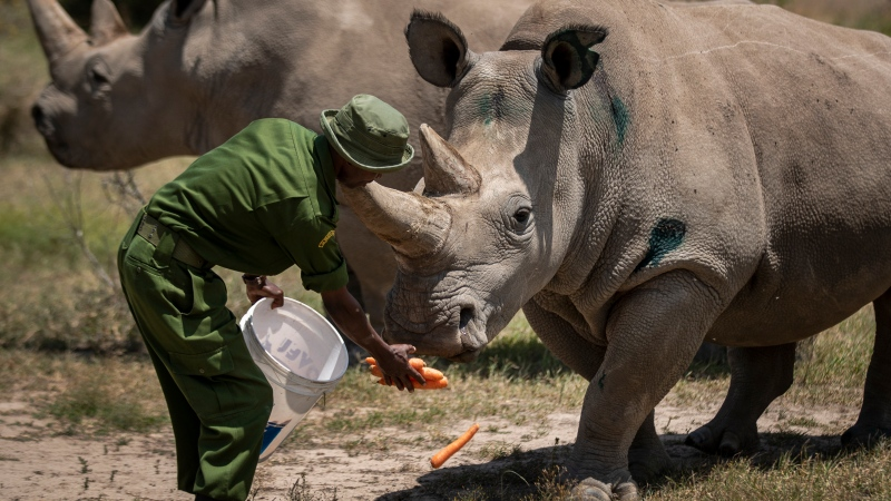 FILE - In this Friday, Aug. 23, 2019, file photo, female northern white rhinos Fatu, right, and Najin, left, the last two northern white rhinos on the planet, are fed some carrots by a ranger in their enclosure at Ol Pejeta Conservancy, in Kenya. (AP Photo/Ben Curtis, File)