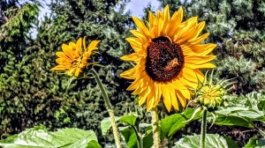 Sunflowers at VanDusen Garden in Vancouver, submitted by Marion Cohen on July 30, 2020.