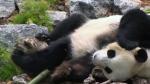 Growing concerns over pandas