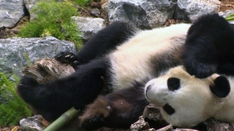 Growing concerns over pandas