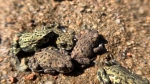 Toad migration has Whistler hopping