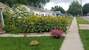 Sunflowers on Spencer Allossery's front yard in Windsor, Ont. (Courtesy Spencer Allosery)