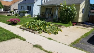 Windsor resident forced to cut down sunflowers due to a written notice from the city regarding sight obstruction in Windsor, Ont. on Thursday, Aug. 6 2020. (courtesy Spencer Allossery)