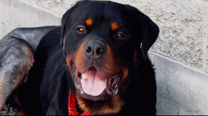 The Comox Valley SPCA are looking after a two-year-old Rottweiler, Momoa, after he was found abandoned at a local dump.