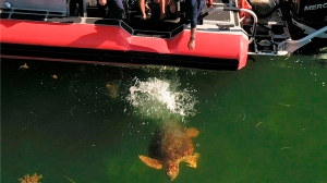"In this aerial drone photo, provided by the Florida Keys News Bureau, staff from the Florida Keys-based Turtle Hospital and U.S. Coast Guard release ""Emma,"" a loggerhead sea turtle, Thursday, Aug. 6, 2020, off Islamorada, Fla. ""Emma"" was one of two turtles Coast Guard personnel helped to rescue about two months ago off the Keys that were treated at the Turtle Hospital for various ailments. (Bob Care/Florida Keys News Bureau via AP)"