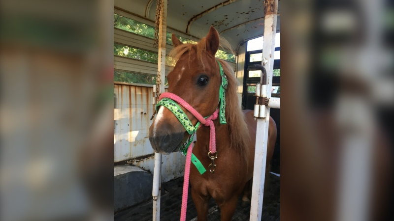 Cider escaped his pen in the early hours of July 30 after he was spooked. Owner Breanna Pearce adopted him just four weeks ago from Whispering Hearts Horse Recuse in Hagersville. (Supplied)