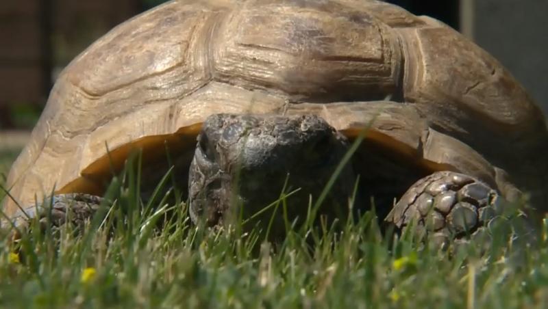 Gus the tortoise