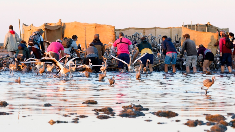 In this Wednesday, Aug. 5, 2020 photo provided by Salins de Camargue, flamingo experts surroung babies pink flamingos in Aigues-Mortes, the Camargue region, southern France, to gather and put bands on baby birds so scientists can track their migration. (Fabrice Pavanello, Salins de Camargue via AP)