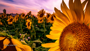 Never look directly at the sun. Instead, look at the sunflower. - Vera Nazarian (Lana Cole/CTV Viewer)