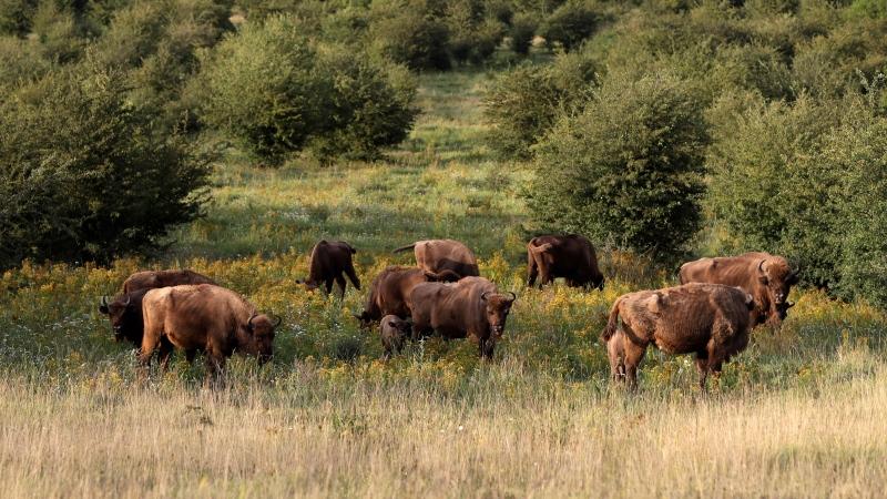 A herd of bisons graze on grass at a wildlife sanctuary in Milovice, Czech Republic, Tuesday, July 28, 2020. (AP Photo/Petr David Josek)