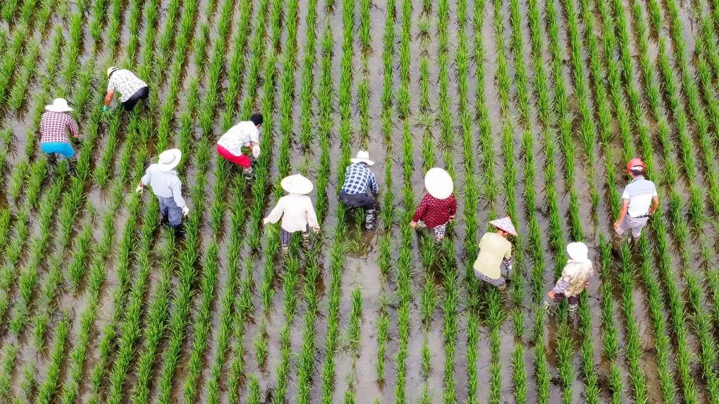 Rice fields in Jiangsu Province