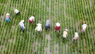Farm workers pull weeds from the rice fields in Taizhou, Jiangsu Province, China, on July 8. (CNN/Costfoto/Barcroft Media via Getty Images)