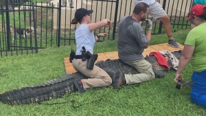 Dad saves daughter from nearby alligator