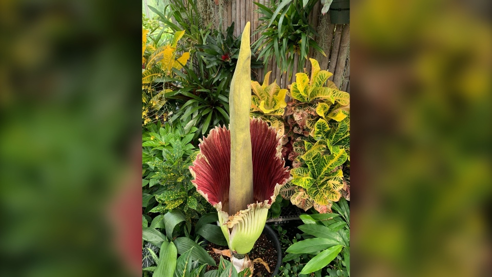 Blooming corpse flower