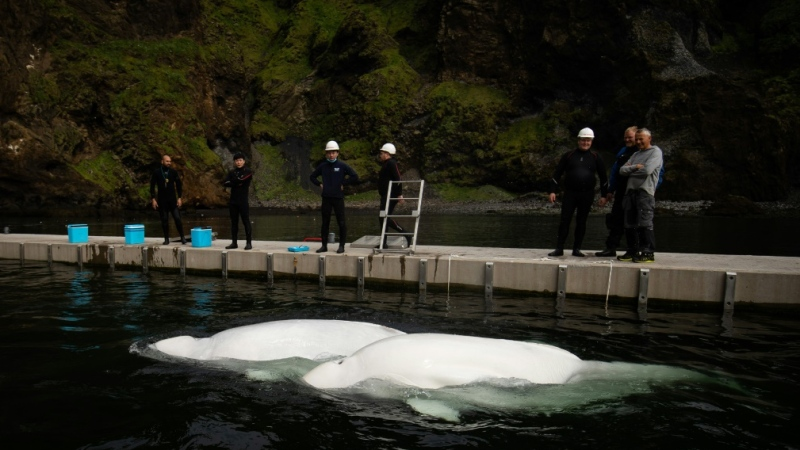 The conservationists hope to create a model for rehoming some 300 beluga whales currently in captivity. (AFP)