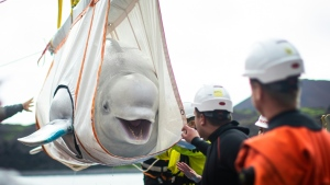 The beluga whales have moved to a sea sanctuary in Iceland after being released from a Shanghai aquarium. (AFP)