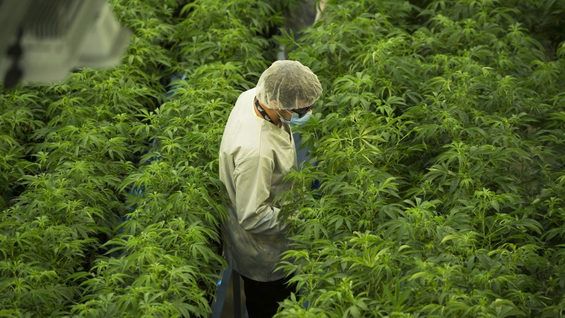 Staff work in a marijuana grow room at Canopy Growth's Tweed facility in Smiths Falls, Ont. on Thursday, Aug. 23, 2018. THE CANADIAN PRESS/Sean Kilpatrick
