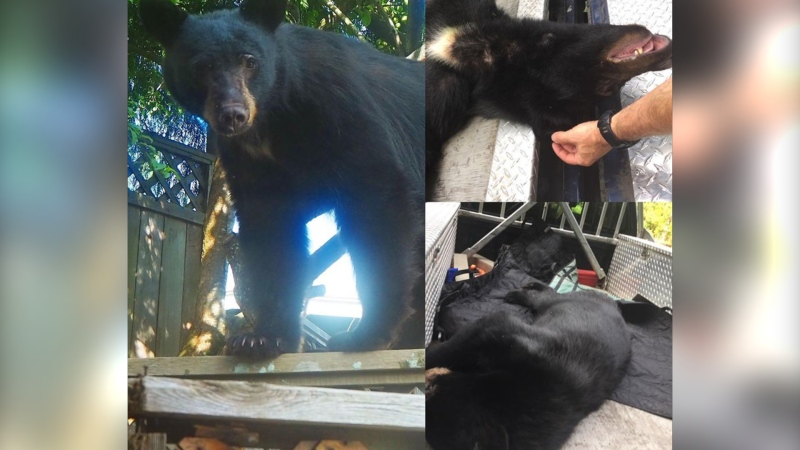 'Huckleberry' is shown in photos posted by the North Shore Black Bear Society, captured by Nikki Simon.
