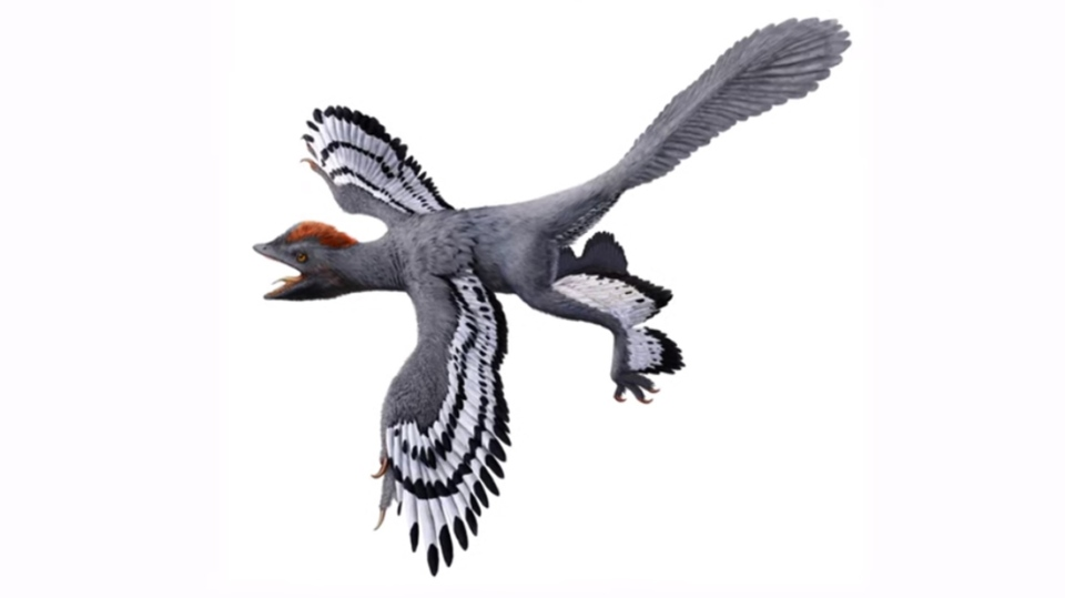 The updated evolutionary tree also confirms anchiornithines were the earliest form of birds.