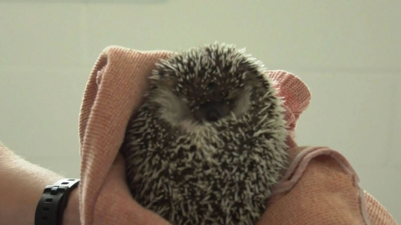 Someone released hedgehogs in a B.C. park