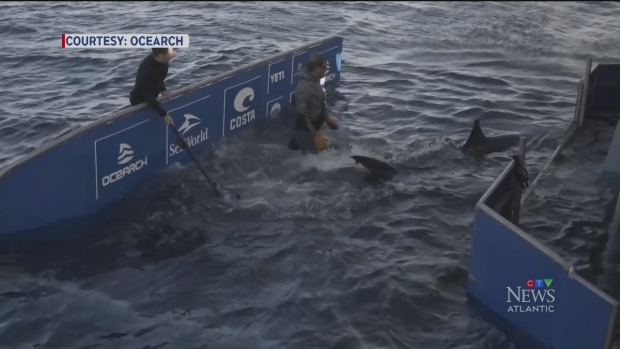 Great white sharks spotted off N.S. coast