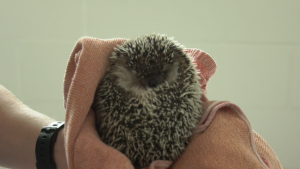 A rescued hedgehog is seen in New Westminster, B.C., on Monday, Aug. 10, 2020.