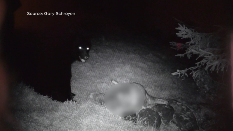 A problem bear is seen returning to a Metchosin farm for a second night in a row to kill and eat a sheep: (Gary Schroyen)
