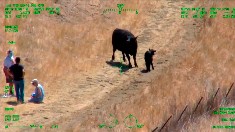 This photo from helicopter video posted by the California Highway Patrol shows part of a confrontation between an elderly couple, at left, with an unidentified man between them, and a cow and her calf, that required the intervention of the CHP in Fairfield in Northern California on Sunday, Aug. 9, 2020.  (California Highway Patrol via AP)