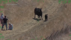 Calif. hikers rescued after cow confrontation