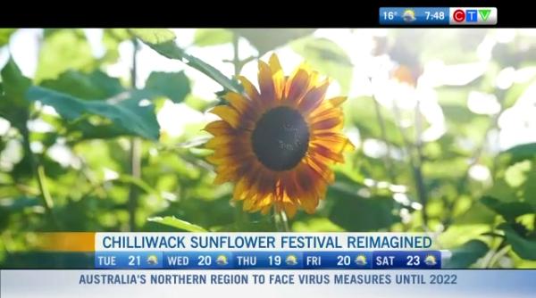 Chilliwack Sunflower, festival, safety protocols