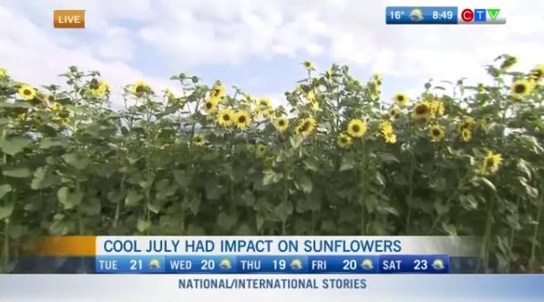 Chilliwack sunflowers