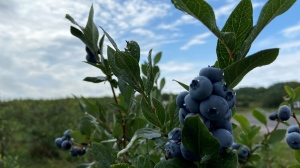 The blueberries at Hugli's Blueberry Ranch in Pembroke, Ont. have been attracting visitors from all around Ontario, looking for a physically distanced activity. (Dylan Dyson / CTV News Ottawa)