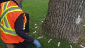 Montreal steps up battle on ash borer