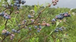 Banner year for blueberries