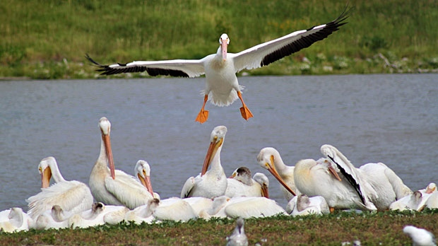 Pelican landing. Photo by Ray Cloutier.