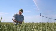 Roger Pederson, president of the Saskatchewan Irrigation Projects Association, stands in a field of wheat on his farm near Outlook. (Jeremy Simes/CTV News)