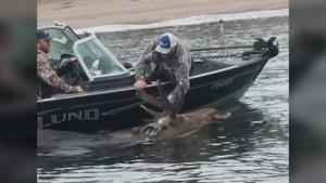 Fishermen save moose