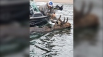 Steve Morin holds a moose's antlers after finding it struggling in Lake Superior. Aug. 9/20
