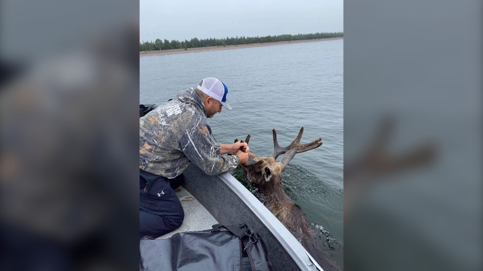 Just keep swimming! Steve Morin helps rescue a full-grown moose from drowning in Lake Superior. Aug. 9/20