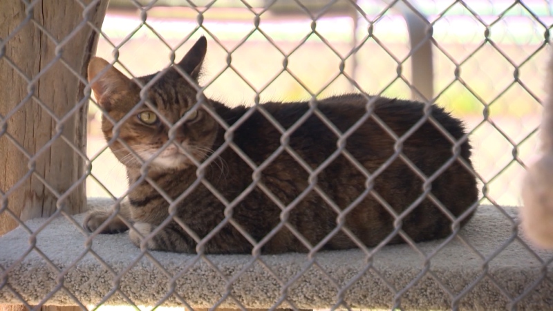 A cat in the care of the BC SPCA on Aug. 12, 2020.