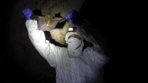 A researcher removes a bat from a trapping net inside a cave at Sai Yok National Park in Kanchanaburi province, west of Bangkok, Thailand, Aug. 1, 2020. (AP Photo/Sakchai Lalit)