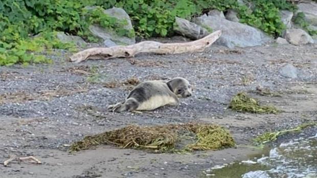 Wayward seal spotted near Montreal, more than 1,000 kilometres from its natural habitat