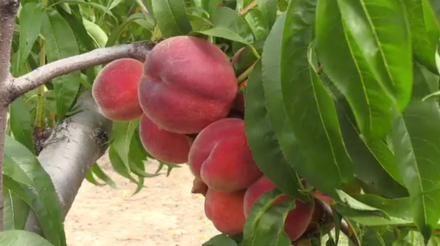 Beamsville farm grows peaches that are ready to pick earlier in the season