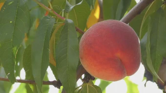 peach tree fruit summer grow