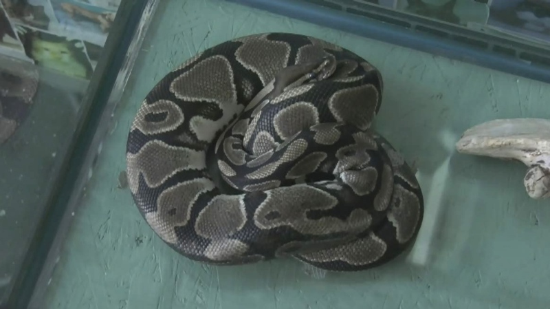 Missing pet snake found in Victoria