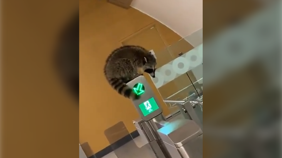 A raccoon was spotted at an OC Transpo LRT station on Thursday morning. (Twitter/@Andrewlyfe13)