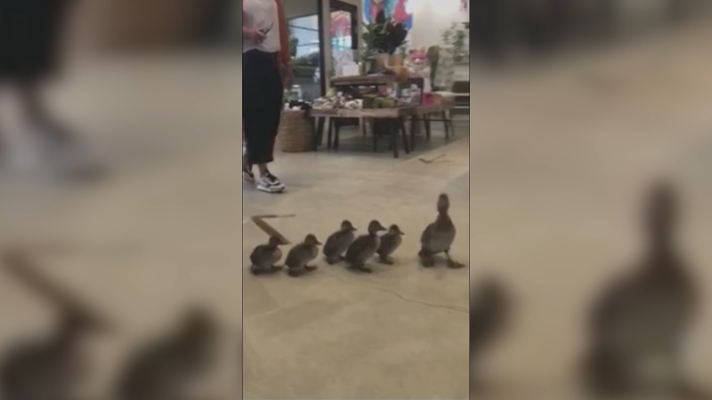 A mother duck and her goslings were rescued Wednesday after wandering into a southwest Edmonton flower shop. (Sheryl Asp)