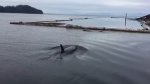 """Port Clements resident Darcy Hampton is lucky enough to cross """"close encounter with orcas"""" off his bucket list after he got some surprise visitors just off the coast of Haida Gwaii."""