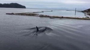 "Port Clements resident Darcy Hampton is lucky enough to cross ""close encounter with orcas"" off his bucket list after he got some surprise visitors just off the coast of Haida Gwaii."