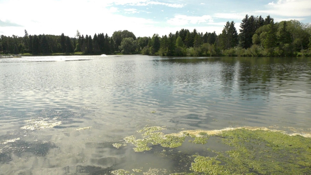blue-green algae in Hawrelak Park lake